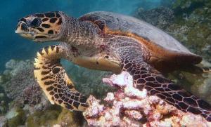 Monty, hawksbill turtle