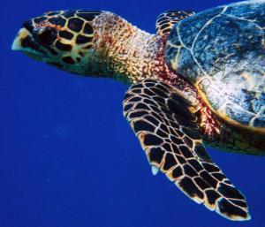 Tortina, hawksbill turtle
