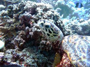 Keno, hawksbill turtle