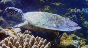 Junior, hawksbill turtle