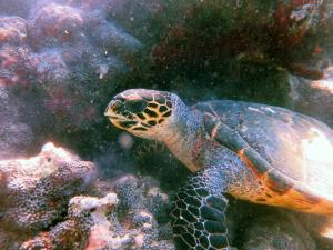 Karumbas, hawksbill turtle