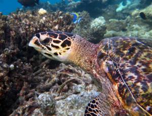 Galileo, hawksbill turtle