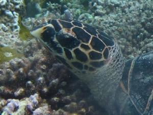 Sofia, hawksbill turtle