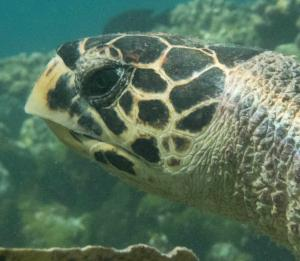 Solene, hawksbill turtle