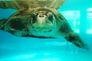 Penny, female Olive ridley turtle