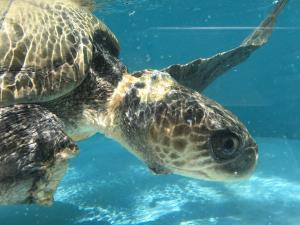 Nadia, adult Olive ridley turtle